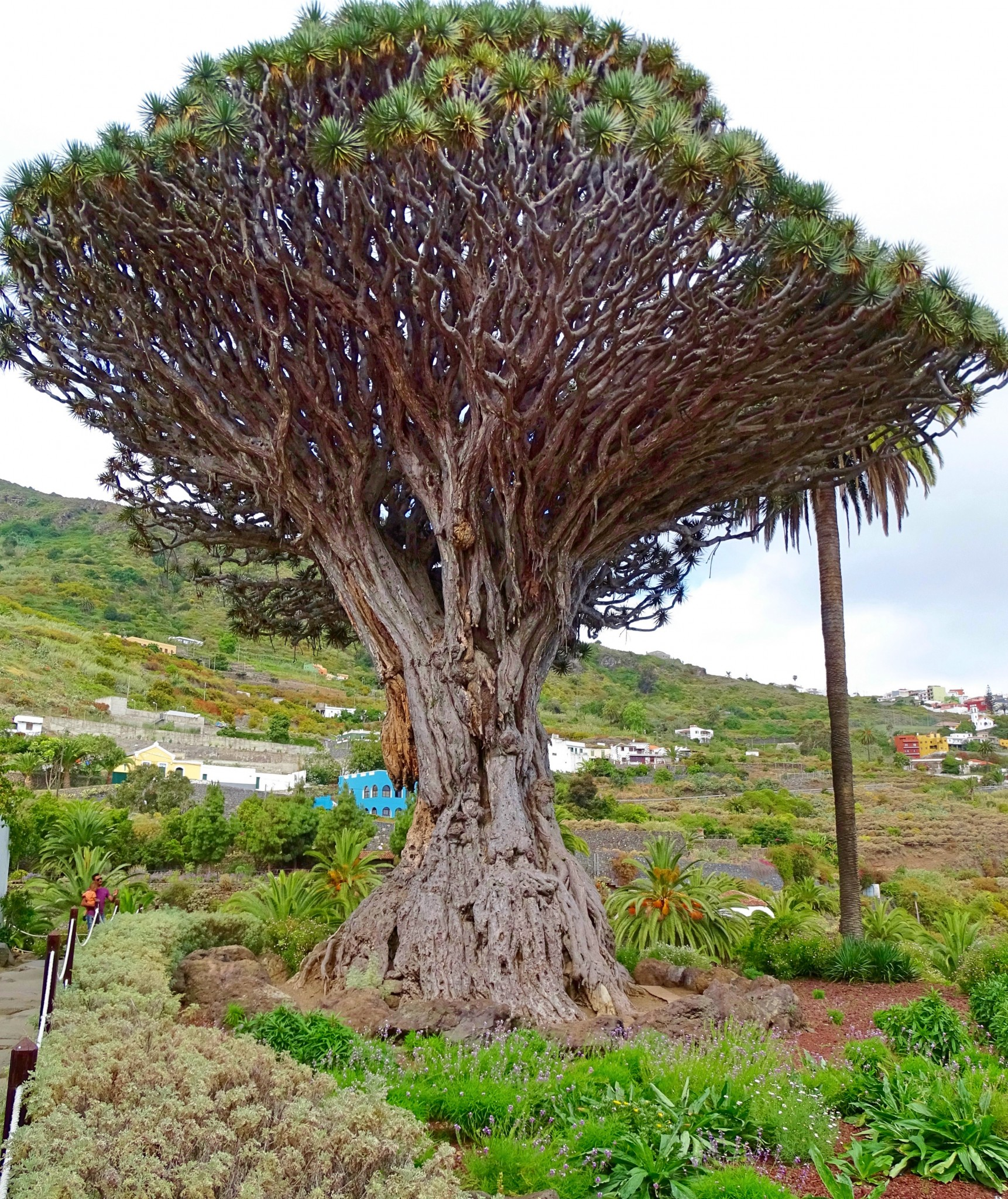 Parque del Drago, Dragon Tree